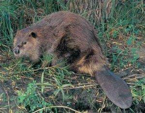 While Hiking Along we saw a Beaver